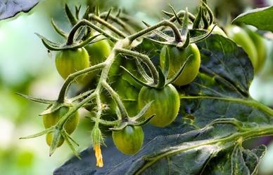 Fototapeta młode zielone pomidory na krzaku fp 1042