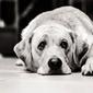 Fototapeta na ścianę smutny pies leżący na dywanie fp 2599
