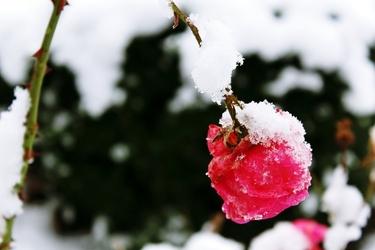 Fototapeta róża pokryta śniegiem fp 357