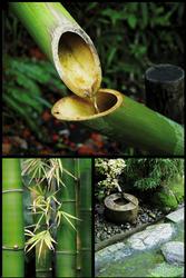 Zen Bambusy - plakat