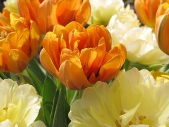 Fototapeta kwiat, tulipany 286