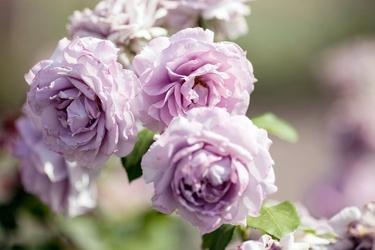 Fototapeta krzew kwitnących róży fp 446
