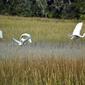 Fototapeta na ścianę wzbijające się do lotu białe ptaki fp 2906