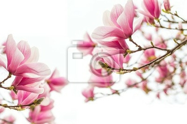 Fototapeta magnolienblüten frühlingszeit