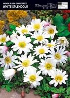 Anemon zawilec grecki 'white splendour – 15 szt.