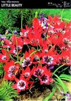 Tulipan botaniczny little beauty – 20 szt