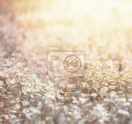 Fototapeta łąka daisy