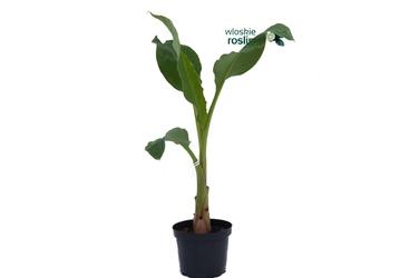 Bananowiec musella lasiocarpa duże drzewko