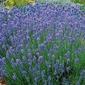 Lawenda hidcote blue strain – nasiona – kiepenkerl