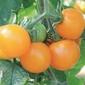 Pomidor goldene königin – pomarańczowy – kiepenkerl