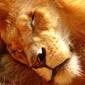 Śpiący lew - fototapeta