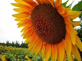 Fototapeta kwiat, słonecznik 290