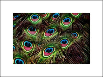 Pawie pióra - plakat wymiar do wyboru: 42x29,7 cm