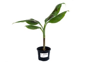 Bananowiec musa acuminata grand nain sadzonka