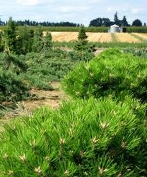 Sosna gęstokwiatowa low glow kulka zielona