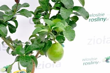Cytryna carrubaro drzewo