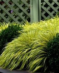 Hakonechloa all gold złoty akcent w ogrodzie