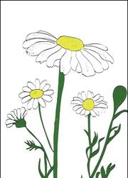 Rumianek - plakat wymiar do wyboru: 40x50 cm