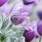 Fototapeta pasque kwiaty