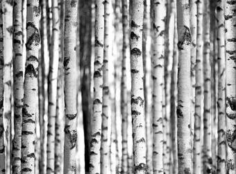 Brzozowy Las Promienie Światła - fototapeta