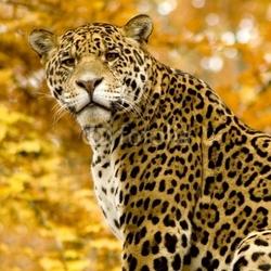 Obraz na płótnie canvas czteroczęściowy tetraptyk jaguar - panthera onca