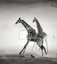 Fototapeta żyrafy uciekają