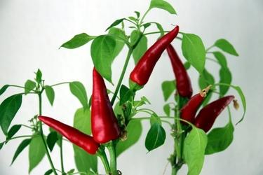 Fototapeta rosnące czerwone papryczki fp 424