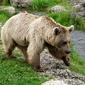Fototapeta niedźwiedź zbliżający się do rzeki fp 2785
