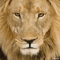 Obraz na płótnie canvas zbliżenie na głowę lwa 4 i pół roku - panthera leo