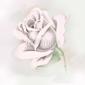 Obraz na płótnie canvas trzyczęściowy tryptyk biała różyczka