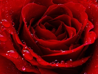 Czerwona róża - plakat wymiar do wyboru: 80x60 cm