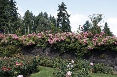 Fototapeta ogród pełen róż fp 1406