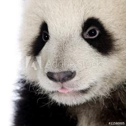 Obraz na płótnie canvas dwuczęściowy dyptyk gigantyczna panda 6 miesięcy - ailuropoda melanoleuca