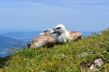 Fototapeta sęp leżący na polanie fp 2713