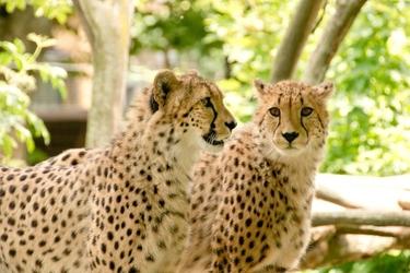 Fototapeta gepard fp 2519
