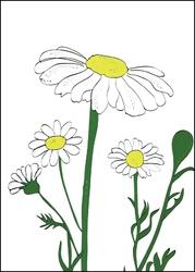 Rumianek - plakat wymiar do wyboru: 42x59,4 cm