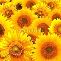Naklejka samoprzylepna tekstury słonecznika