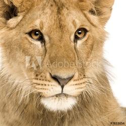 Obraz na płótnie canvas czteroczęściowy tetraptyk lwiątko 9 miesięcy