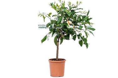 Citrus lumia duże drzewko