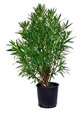 Oleander ogromny krzew