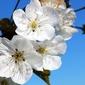 Fototapeta duże białe kwiaty na drzewie fp 287