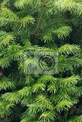 Fototapeta jodła gałęzi drzewa tekstury