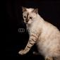 Fotoboard na płycie biały kot bengalski na białym tle