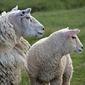 Fototapeta owce wypatrujące stada fp 3016