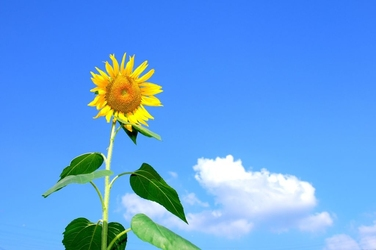Fototapeta kwiat, słonecznik 343