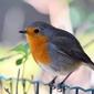 Fototapeta ptak rudzik siedzący na ogrodzeniu metalowym fp 2578
