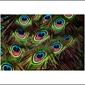 Pawie pióra - plakat wymiar do wyboru: 100x70 cm