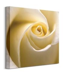 Kremowa róża - obraz na płótnie