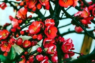 Fototapeta kwiaty Japoni FP 771