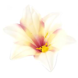 Lilia satynowa 11 cm - kremowy - kremowy